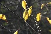 picture of ash-tree  - Ash Trees Leaves of Yellow with sunlight casting shadow - JPG