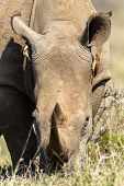 Постер, плакат: Rhino Birds Ears Wildlife