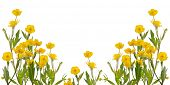 foto of buttercup  - yellow buttercup flowers isolated on white background - JPG