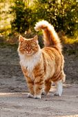 picture of puss  - Ginger furry cat standing in the yard - JPG