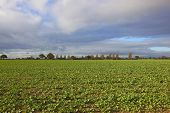 foto of rape-seed  - cloudy skies over seedling rape seed crops in an autumn landscape - JPG