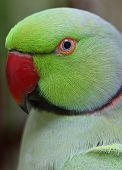 foto of ringneck  - closeup portrait of a male ringneck parrot