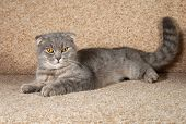 foto of scottish-fold  - Scottish fold gray cat lying on brown couch - JPG