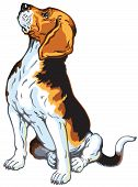picture of foxhound  - beagle hound dog - JPG