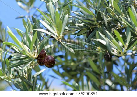 Black  Olives on tree with soft focus background 3
