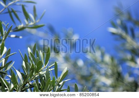 Soft focus Olive Tree leaves with Blue sky Background 5