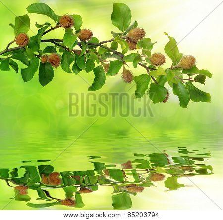 Beech branch