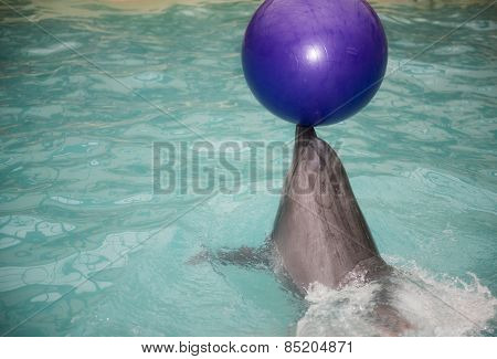 Dolphin Is On The Nose Of The Ball