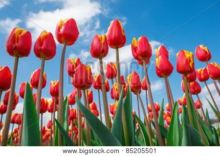 Red and yellow  tulips shot from the down, against blue sky, on a spring sunny day, in North Holland province