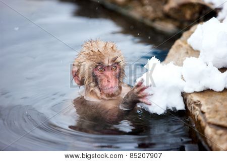 Baby snow monkey Japanese Macaque playing with snow at onsen hot springs of Nagano, Japan