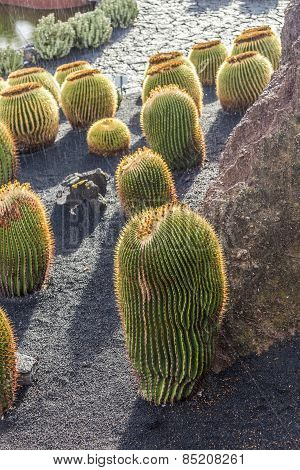 Pile Of Echinocactus Grusonii, Cactus Typical Of Southern Hemisphere Countries