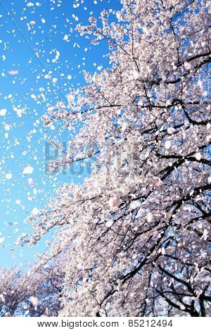 Magnificent scene of cherry blossoms flower petals floating and falling in a spring breeze. Focus is intentionally on the floating petals and not the tree.
