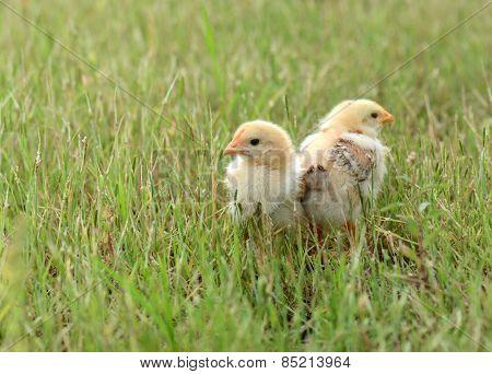 Little cute chicken on green grass, outdoors
