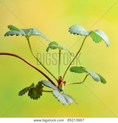 Strawberry plants  Strawberry leaves