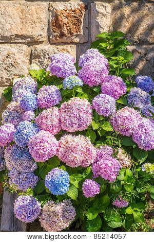 Large Hydrangea In Different Colors