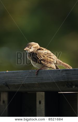 Napping Sparrow