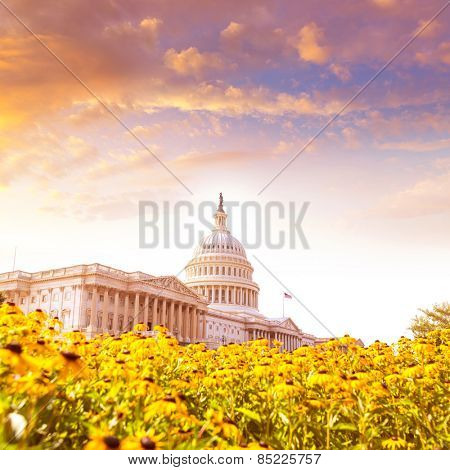 Capitol building Washington DC yellow daisy flowers USA congress turf meadow US