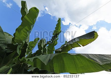 Banana Leaves In The Sky