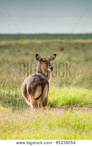 Waterbuck Watching
