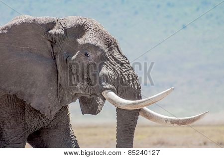 Elephant Bull With Tusks