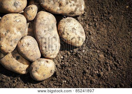 fresh organic bio potatoes vegetable in the field on soil