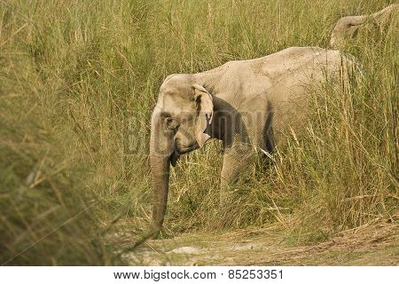 Elephas maximus, asian wild elephant walking along the river, Bardia, Nepal