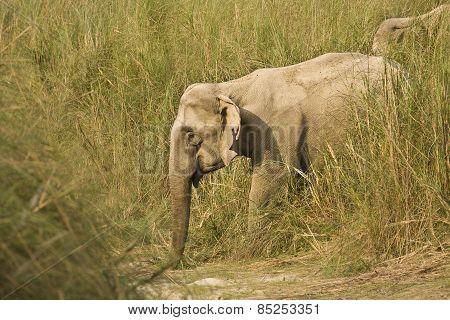 Elephas maximus, asian wild elephant walking along the river, Bardia, Nepal