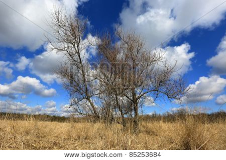 Leafless tree in dry grass at spring time