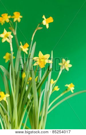 fresh narcissus flowers