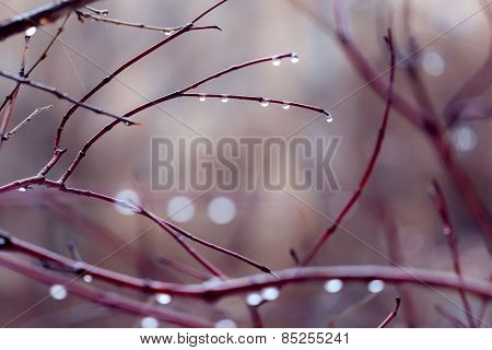 Water Drops On Branches