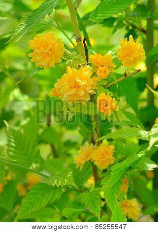Kerria japonica or Pleniflora in spring time