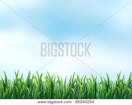 Field of fresh green grass