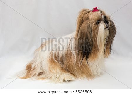 Small Dog Breeds Shih Tzu