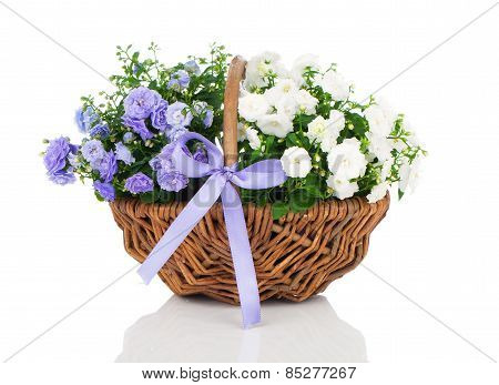 Blue And White Campanula Terry Flowers In The Wicker Basket