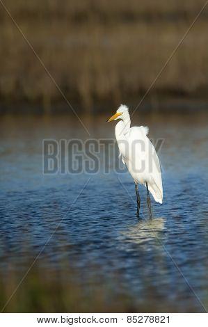 Great Egret On Alert
