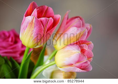 Studio Shot Of Pink Colored Tulip Flowers