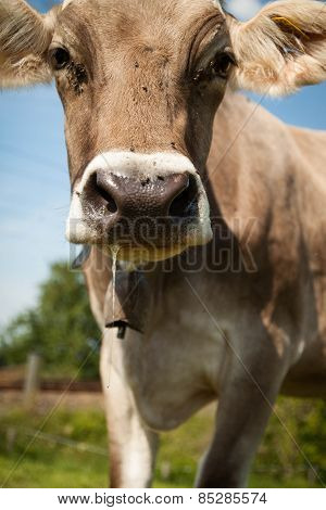 close up shot of cow with slobber in the mouth