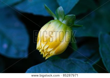Bud flower.