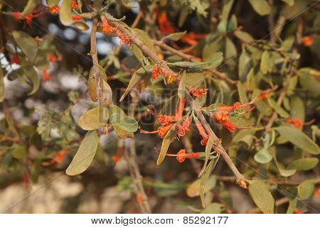 Loranthus acaciae, red desert flowers