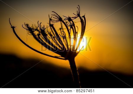 Backlit Silhouette Of A Dandelion At Sunset