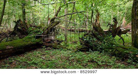 Two Broken Old Oak Trees Lying Moss Wrapped