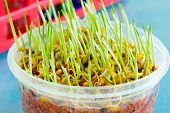 picture of modifier  - sprout of genetically modified wheat - JPG