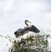 picture of spread wings  - Great Blue Heron Spreading Wings - JPG