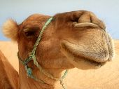 picture of camel-cart  - Great clear camel headshot - JPG