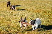 stock photo of french bulldog puppy  - Beautiful French Bulldog Puppy Dog Pup Puppy Whelp Outdoor In Spring - JPG