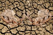 picture of drought  - Double exposure of pig skull over cracked dried earth due to a world drought and climate change - JPG