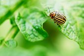 pic of potato bug  - The Colorado potato striped beetle Leptinotarsa decemlineata is a serious pest of potatoes - JPG