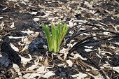 picture of dead plant  - New life among bushfire dead forest in Yanchep National Park - JPG