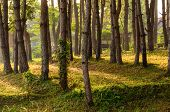pic of row trees  - Row of tree with sunlight in the morning - JPG