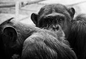 pic of male-domination  - Dominant male chimpanzee looking straight at the camera - JPG